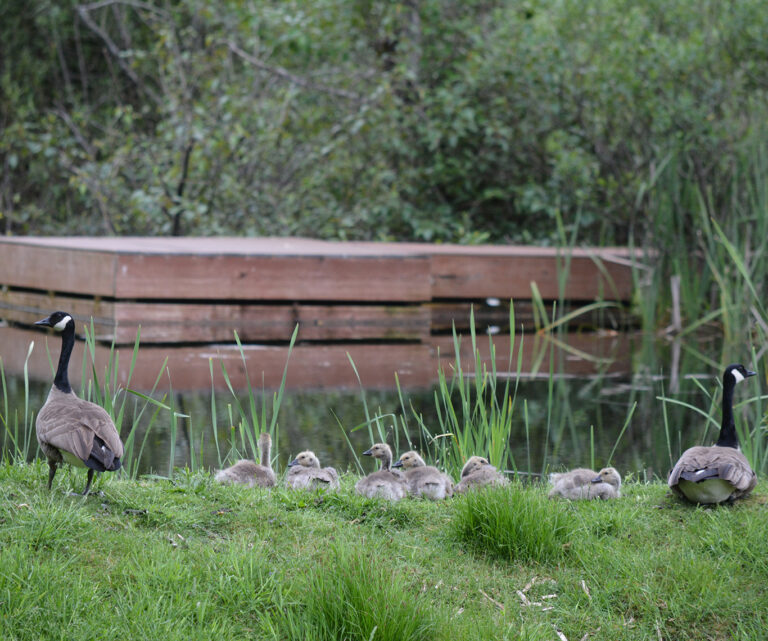 Canadian Geese come each spring to hatch new babies
