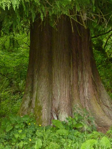 Giant cedars surround the cabin